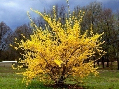 подробнее о  Форзиция средняя Forsythia intermedia